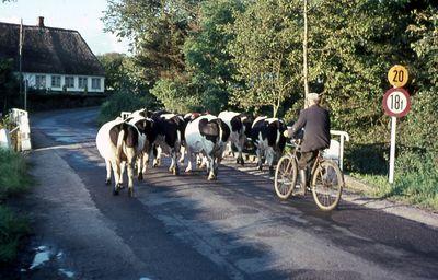 Foto von 1962 Stapelholmer Weg mit Kuhherde